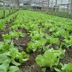 El Área Metropolitana aporta hasta el 90 % de las verduras de hoja